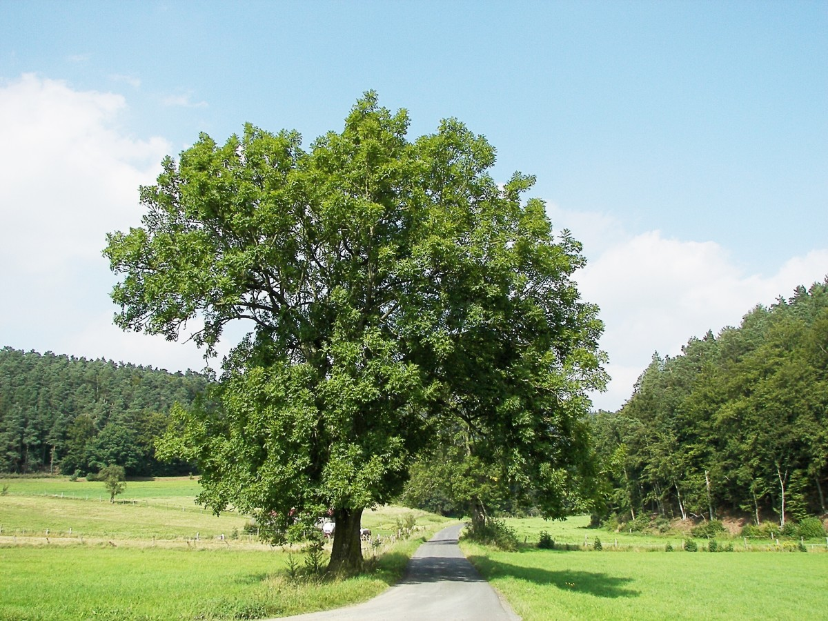 The European or common ash