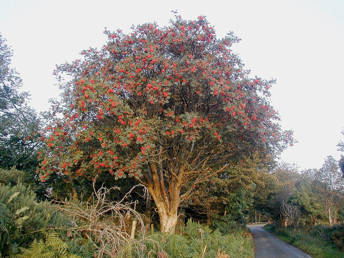 A rowan tree in Ireland at dawn