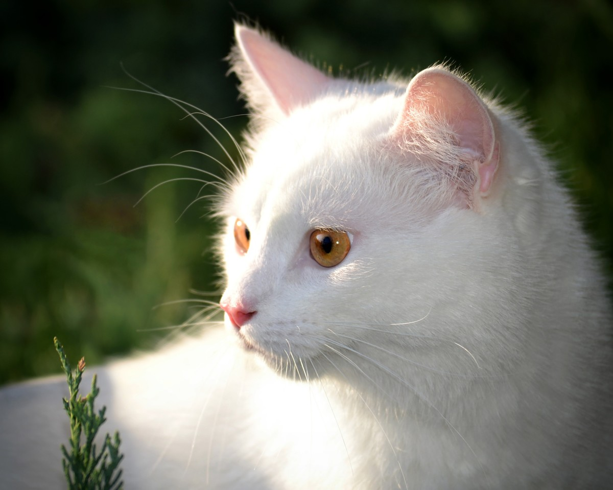 White cats are a beautiful rarity (only 2-5% of all cats).  White cats with one or more blue eyes are more prone to being deaf. White cats also are more at risk for skin cancer on areas like ears and noses.