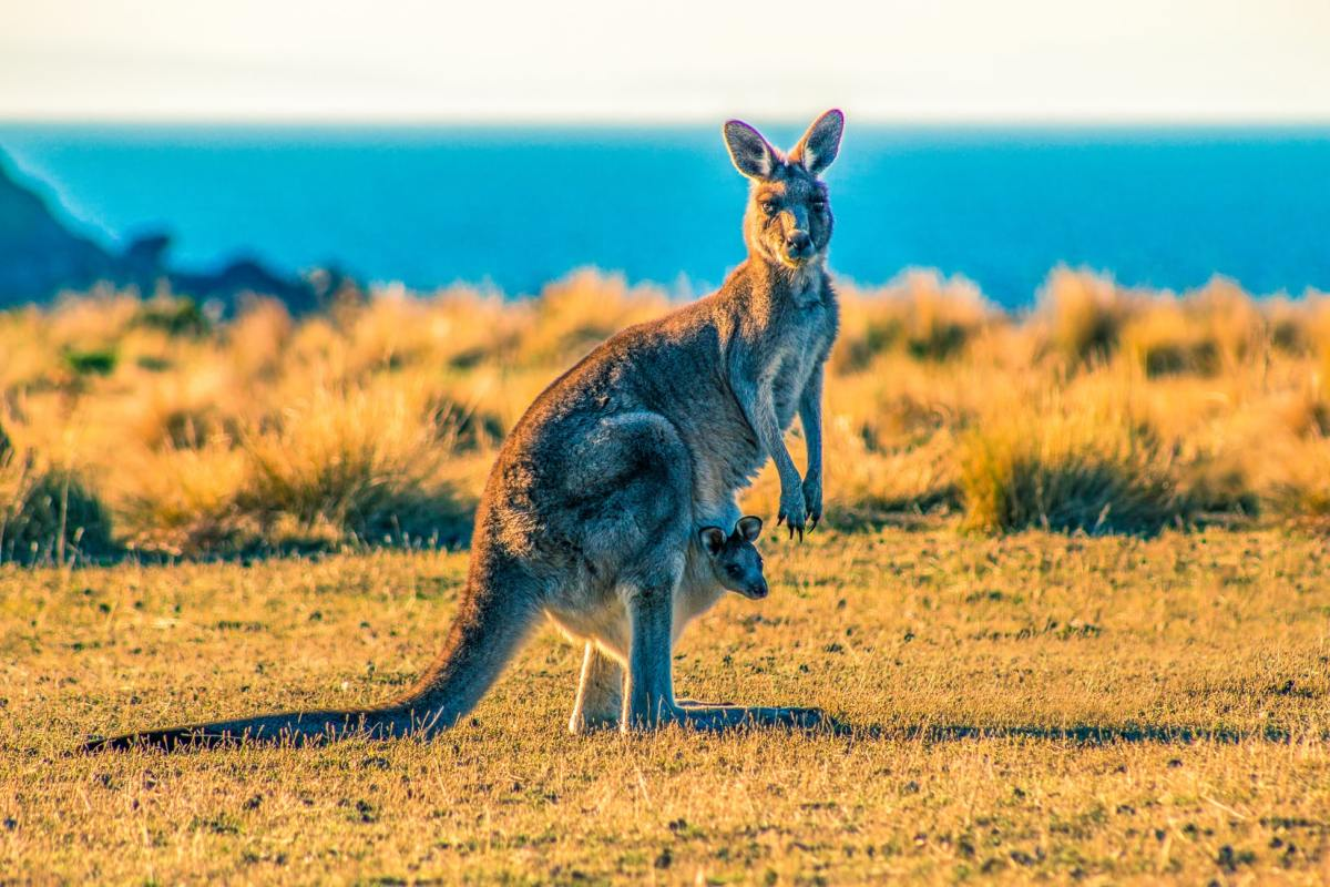 Kangaroos are indigenous to Australia where there are more kangaroos than Australian people. Kangaroos are hunted for their skin and meat in Australia (say it's not so!).