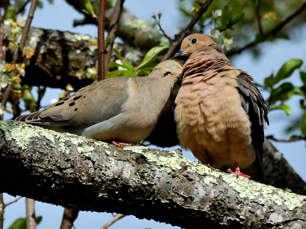 Two doves that are also lovebirds.