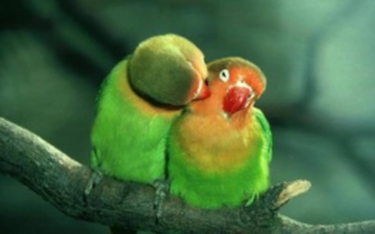 Find your own lovebird