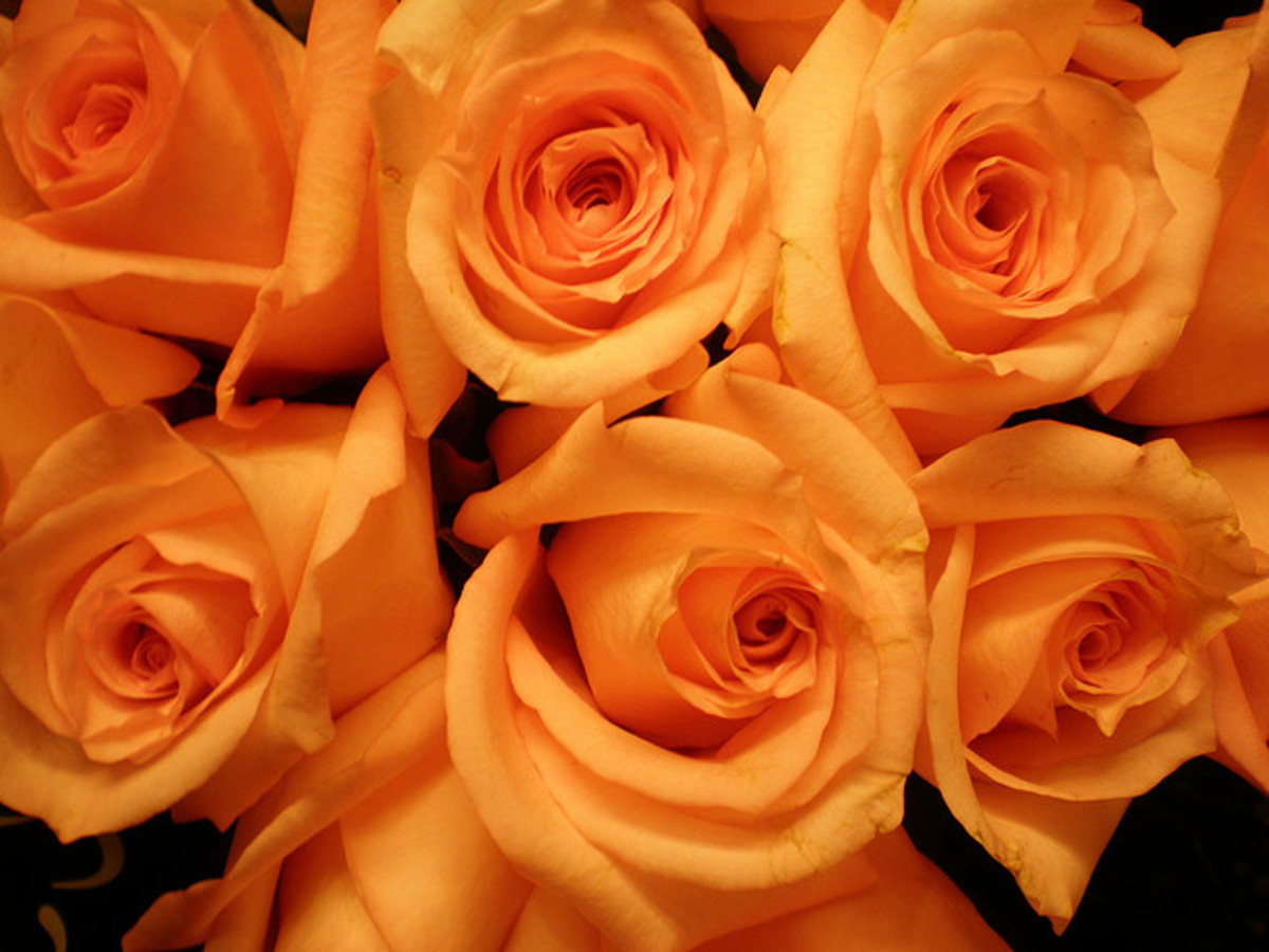 What do flower colors mean in relationships pairedlife orange roses signify desire mightylinksfo