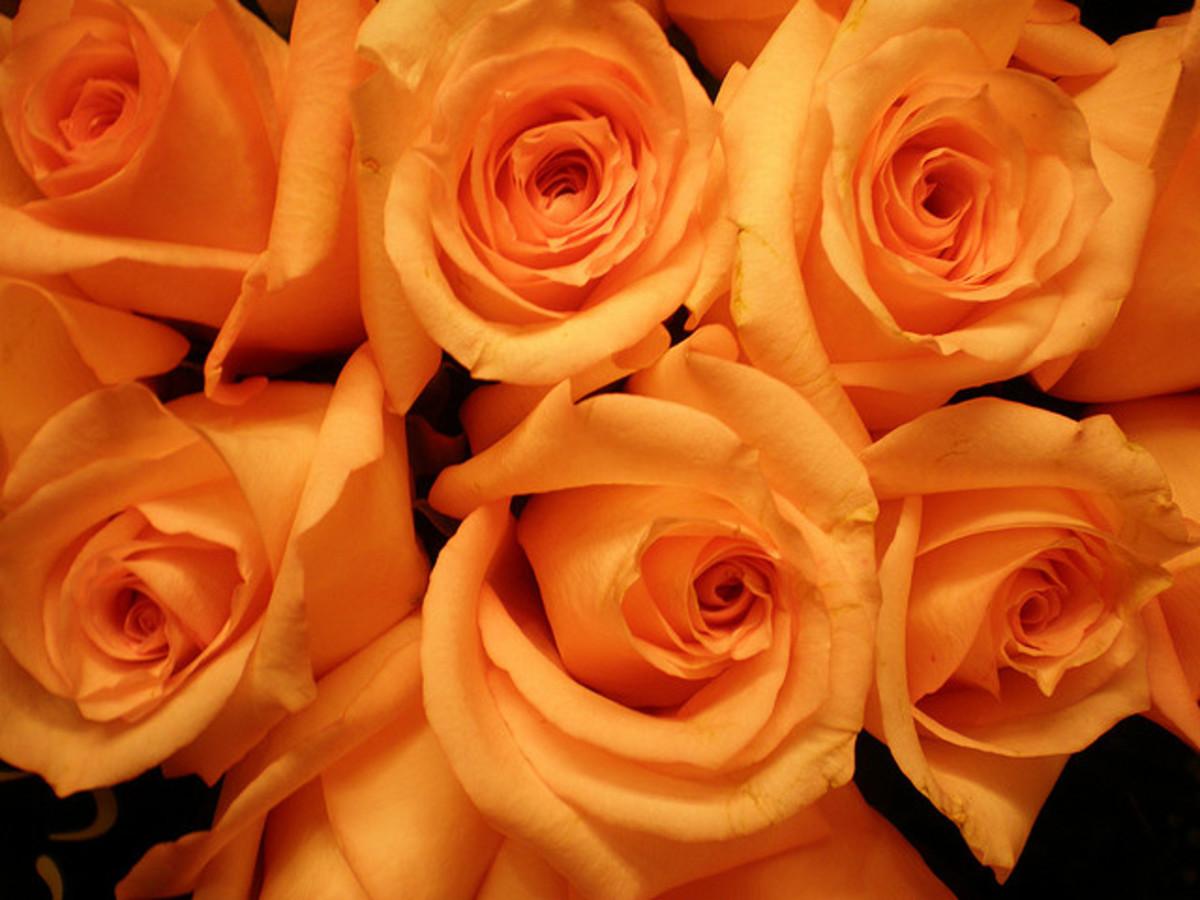 Orange roses signify desire.