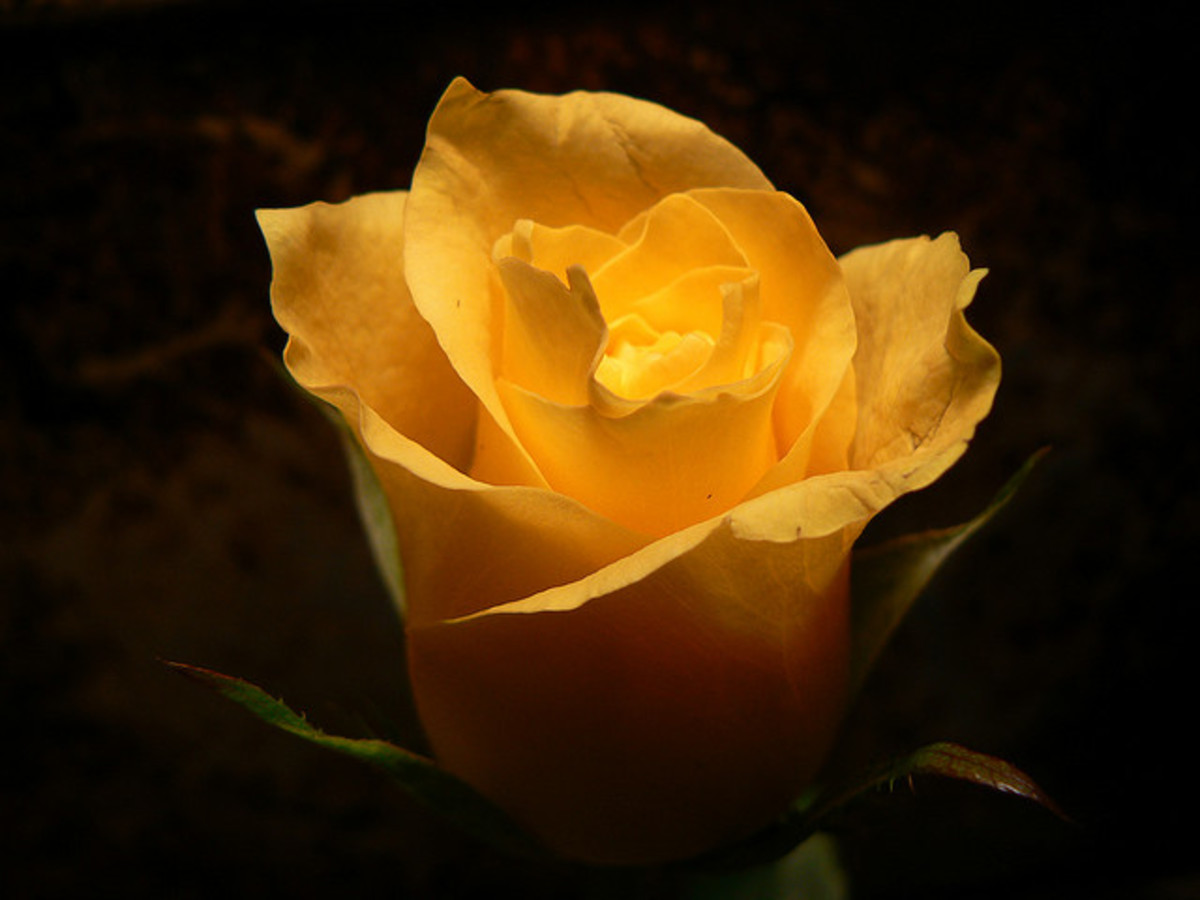 Never give your sweetheart yellow roses, as they are considered to be a sign that you are attempting to break up with your partner.