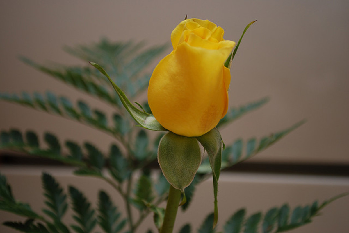 Yellow roses also represent jealousy, which is perhaps one of the reasons why they're considered to be a breakup flower.