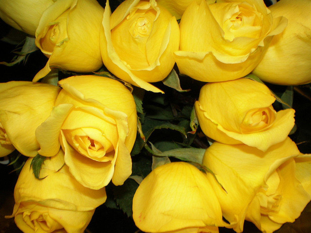 "Yellow roses have more of a place as a ""Get well soon"" than as an ""I love you."" As beautiful as they are, save them for hospital visits or your friends!"
