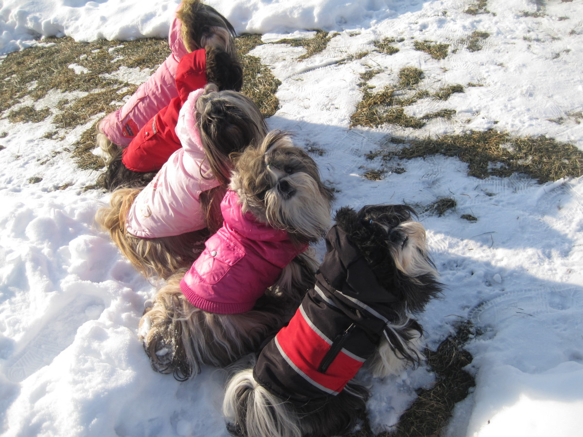 The Gullickson Shih Tzu dogs dressed for Winter.