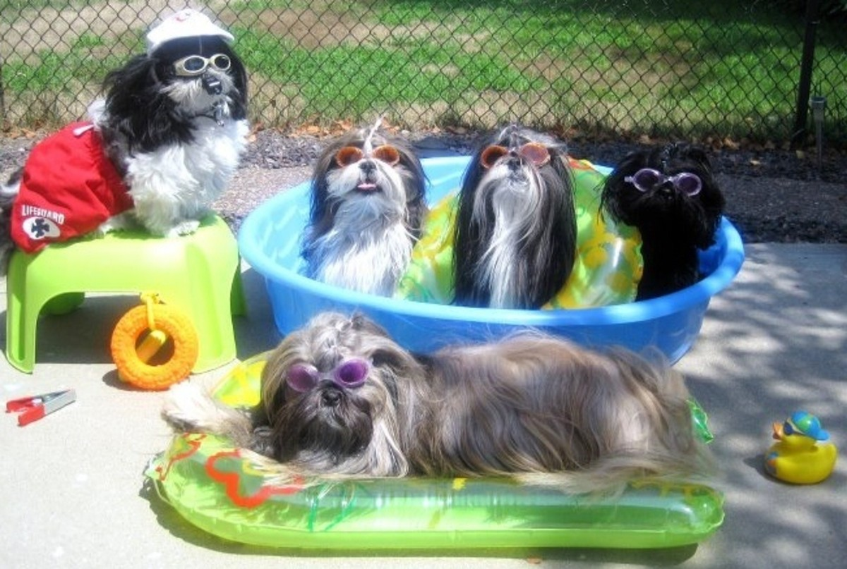 Shih Tzu's cooling off from the summer heat.