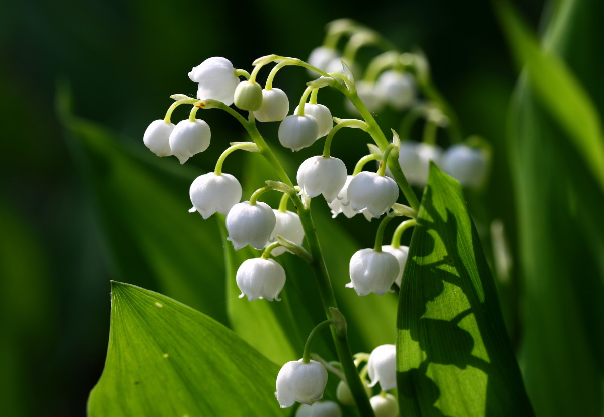 Lily of the Valley.
