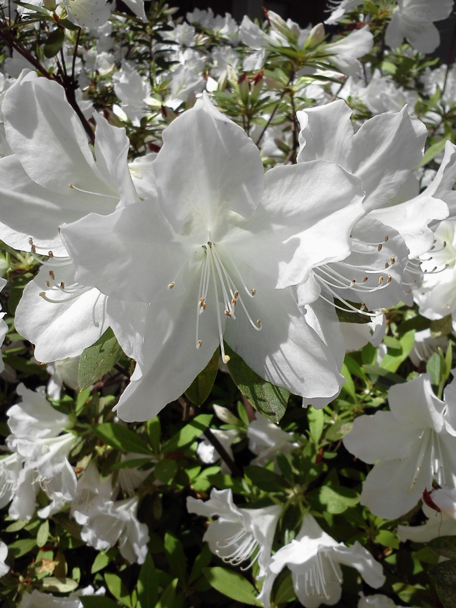 These white Pride of Mobile azaleas in the courtyard of my home church will be blooming about the time of our WDP program.