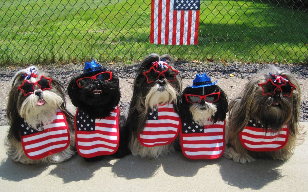 Cute Shih Tzu dogs dressed up for the 4th of July holiday
