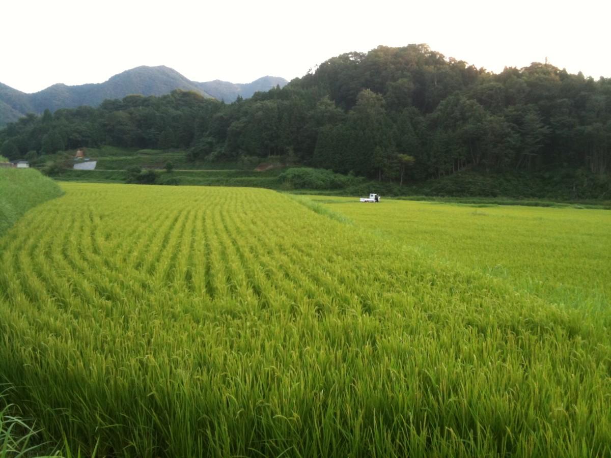Rice fields in Hiroshima.
