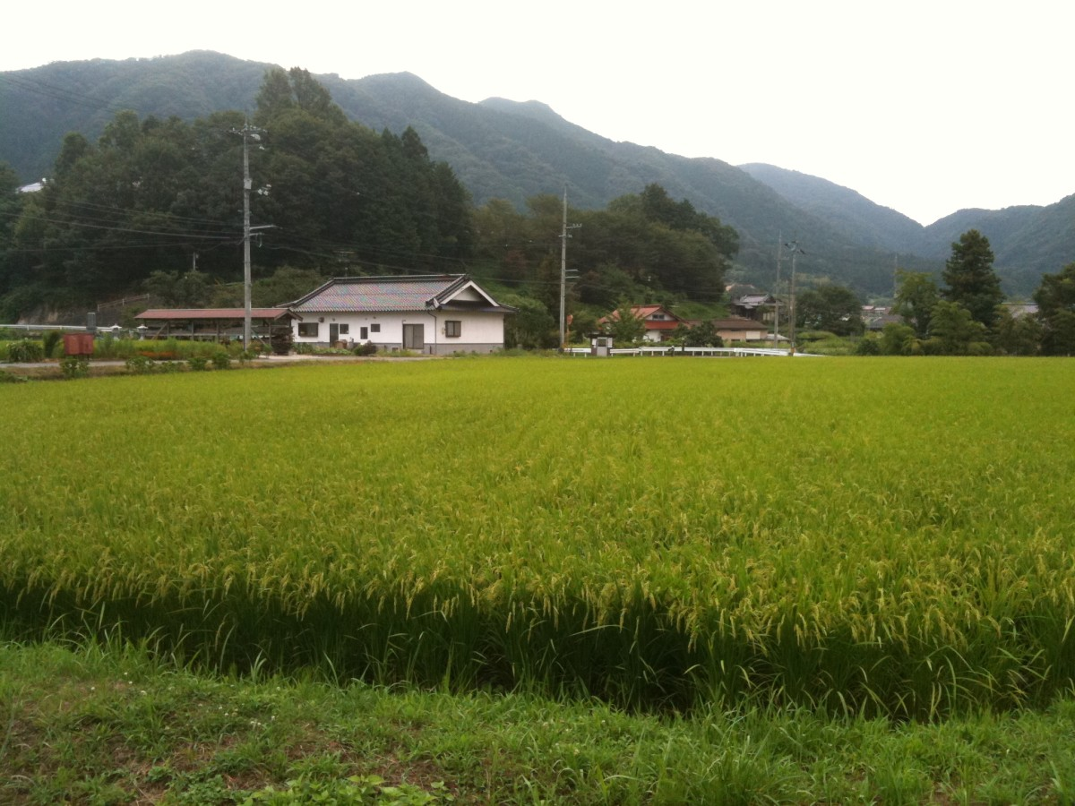 A rice field in Hiroshima during the summer.