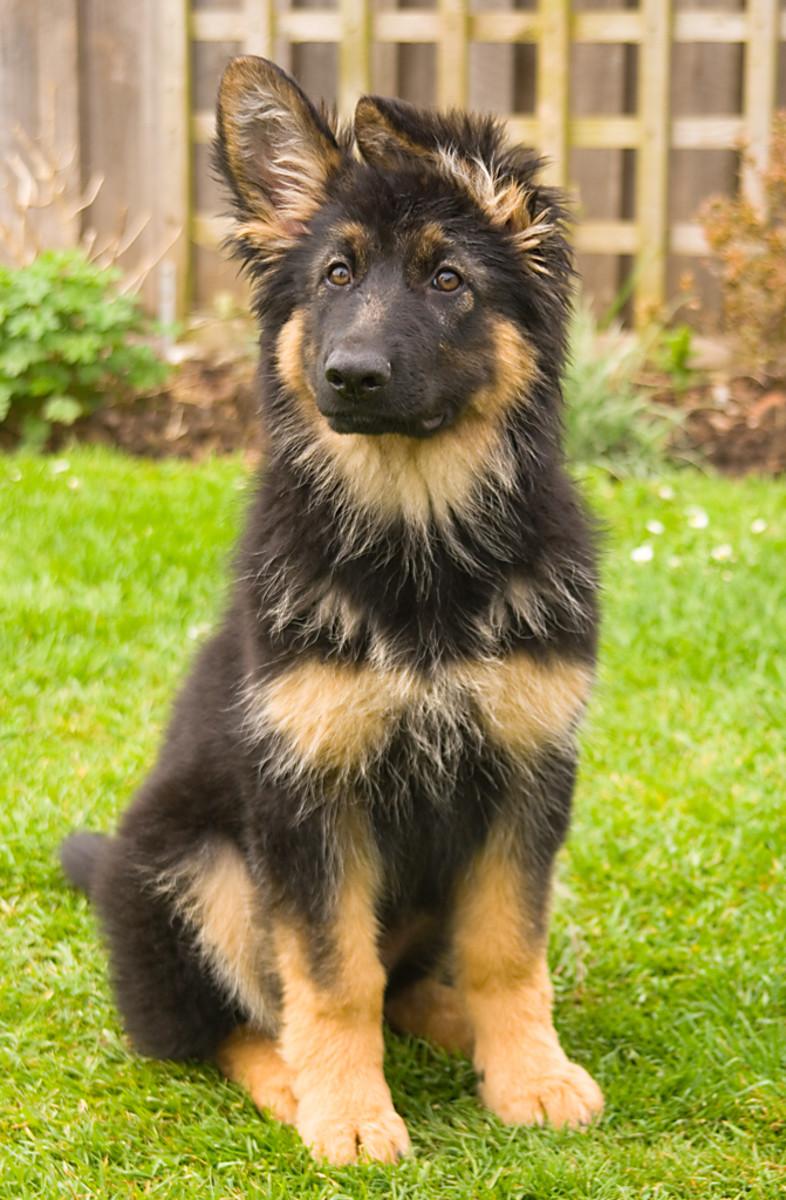 German Shepherd Puppy