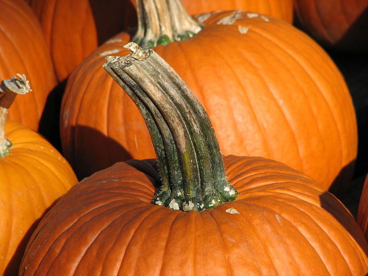 To ensure a longlasting jack-o'-lantern, choose a pumpkin with a long handle.