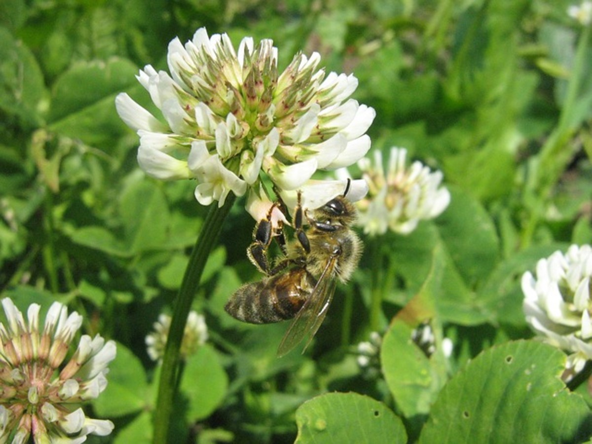 White Clover, Trifolium Repens, that Shamrocks Come From