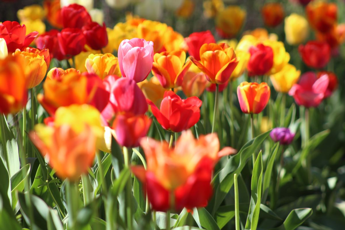 Fall bulbs like tulips make a great gift for patient gardeners.