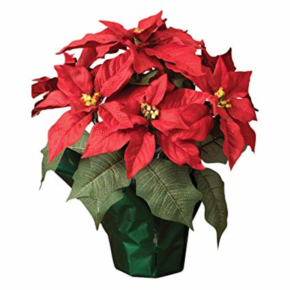 Poinsettias are popular Christmas decorations.