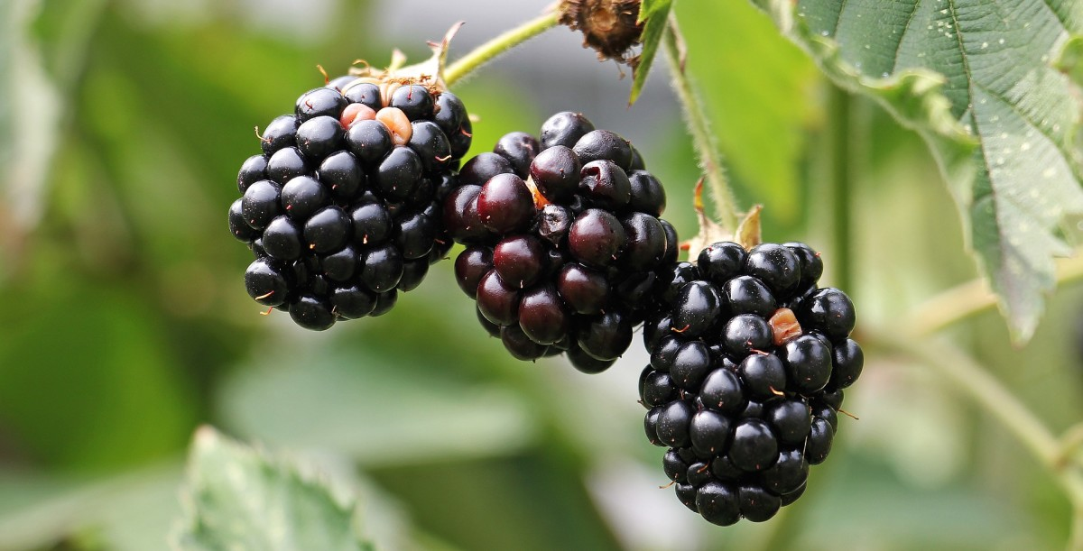 Blackberries are nutritious and delicious but can be painful to pick.