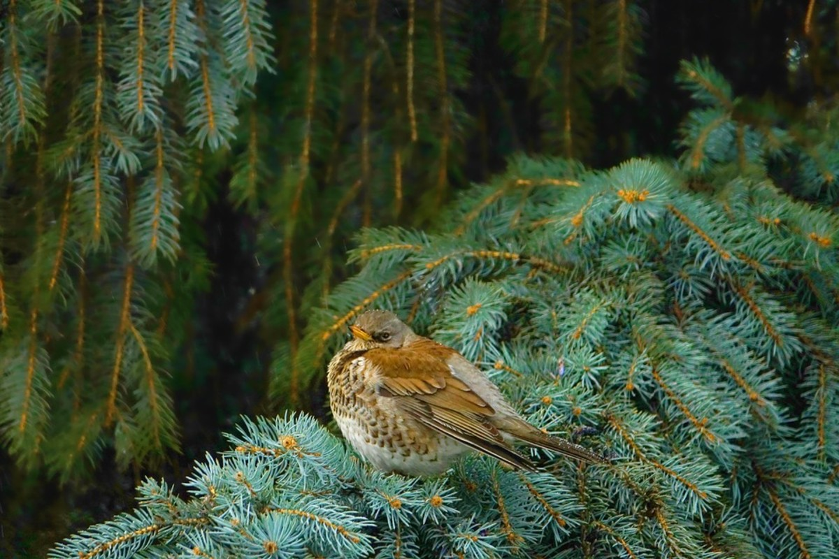 Birds use evergreens for shelter from winter weather.