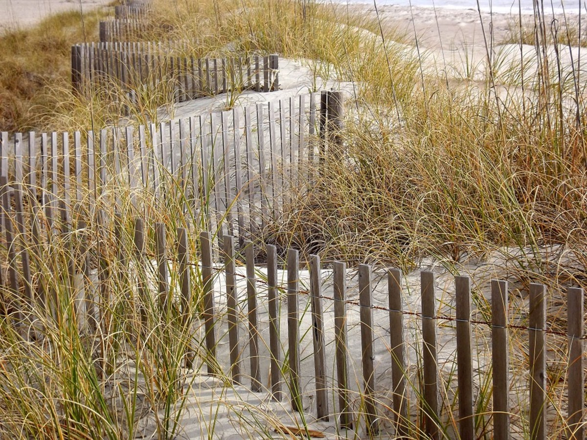 Discarded Christmas trees are used with fencing to restore sand dunes at the shore.