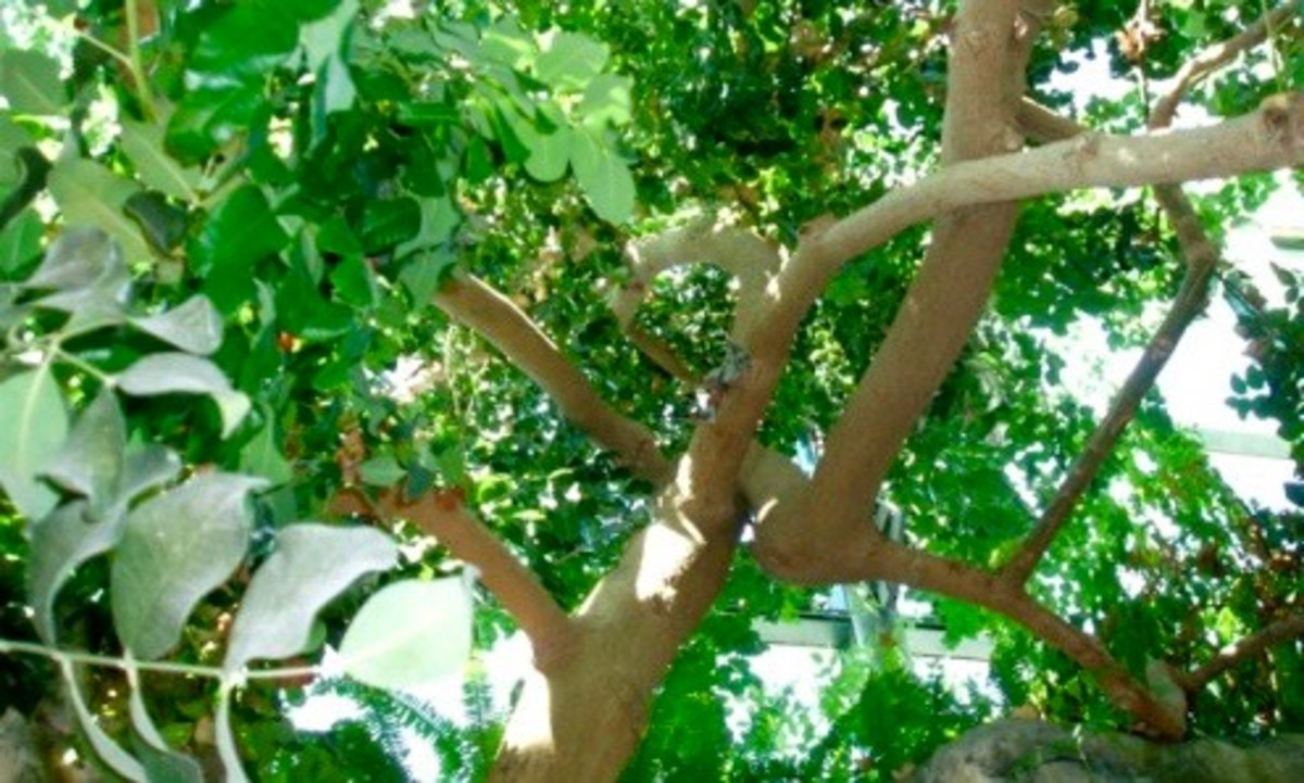 Carob tree growing in a giant, humidity controlled greenhouse. Taken at the Arboretum in Albuquerque NM.