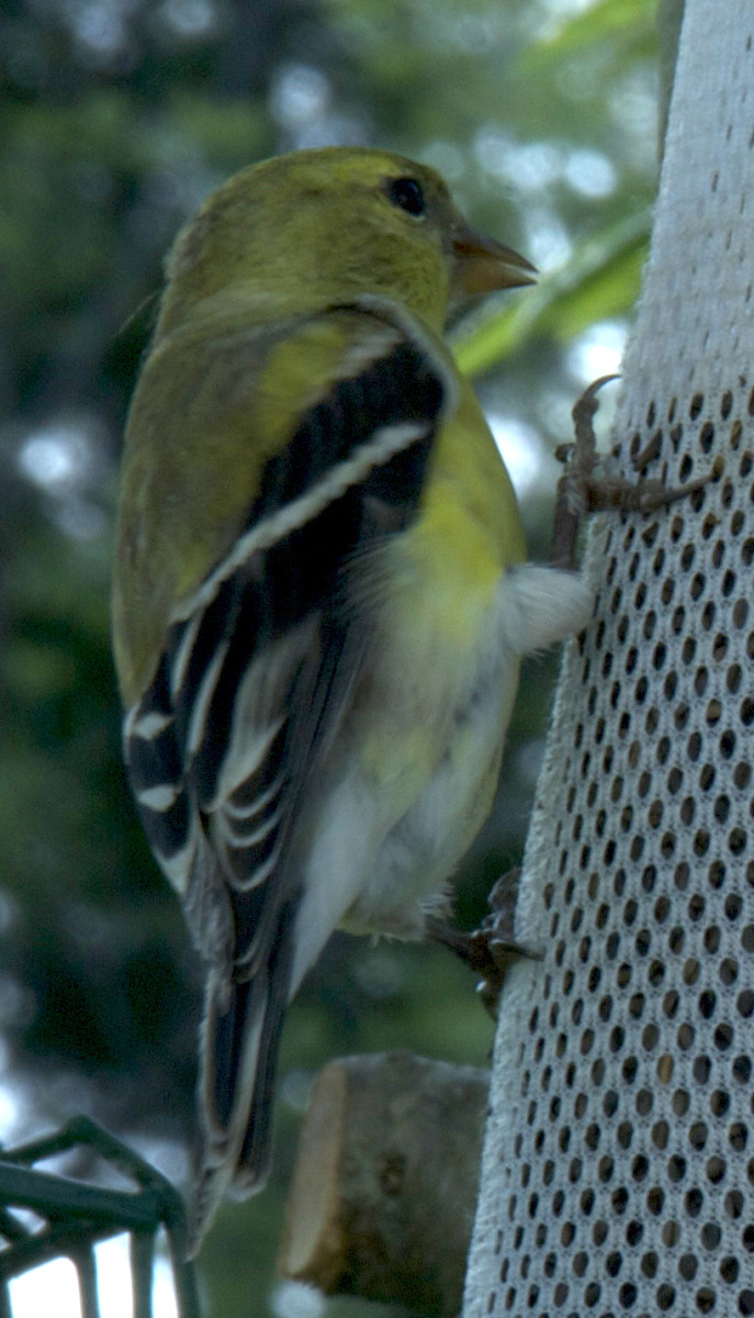 Using the wireless remote allowed me to get the camera much closer to the goldfinch at my feeder than would have been otherwise possible.