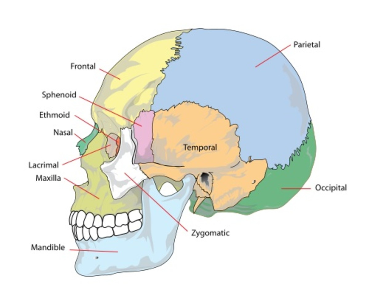 An artificial mandible, or lower jaw, has been created by a 3D printer.