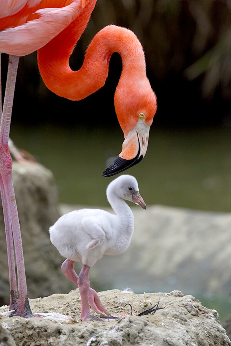 Flamingo with chick