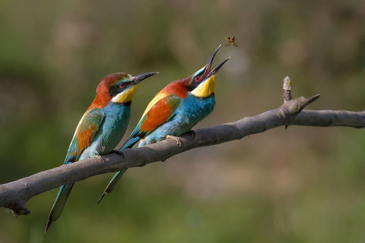 This photo of a pair of European bee-eaters was Wikimedia Picture of the Year 2012.