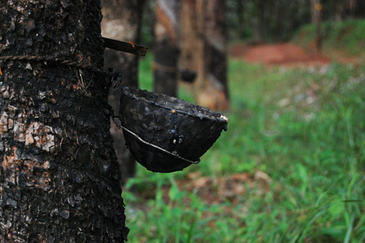 A sap collector attached to a rubber tree.