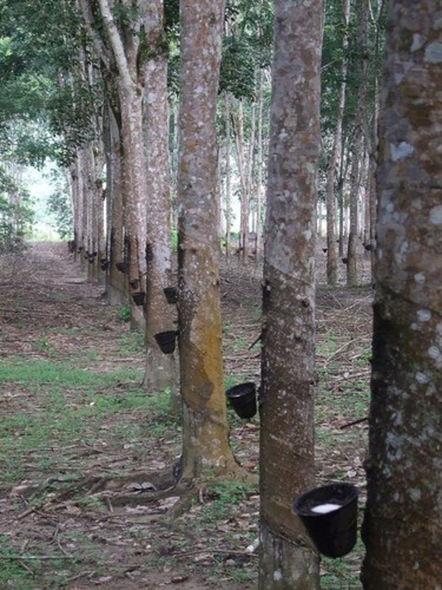 Rubber trees with attached sap catchers.