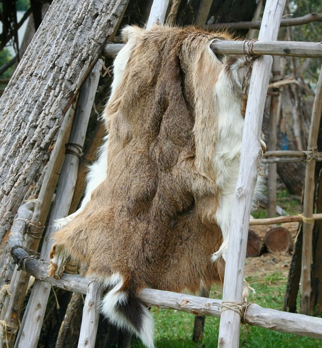 Deer pelt before fur is removed in tanning process.
