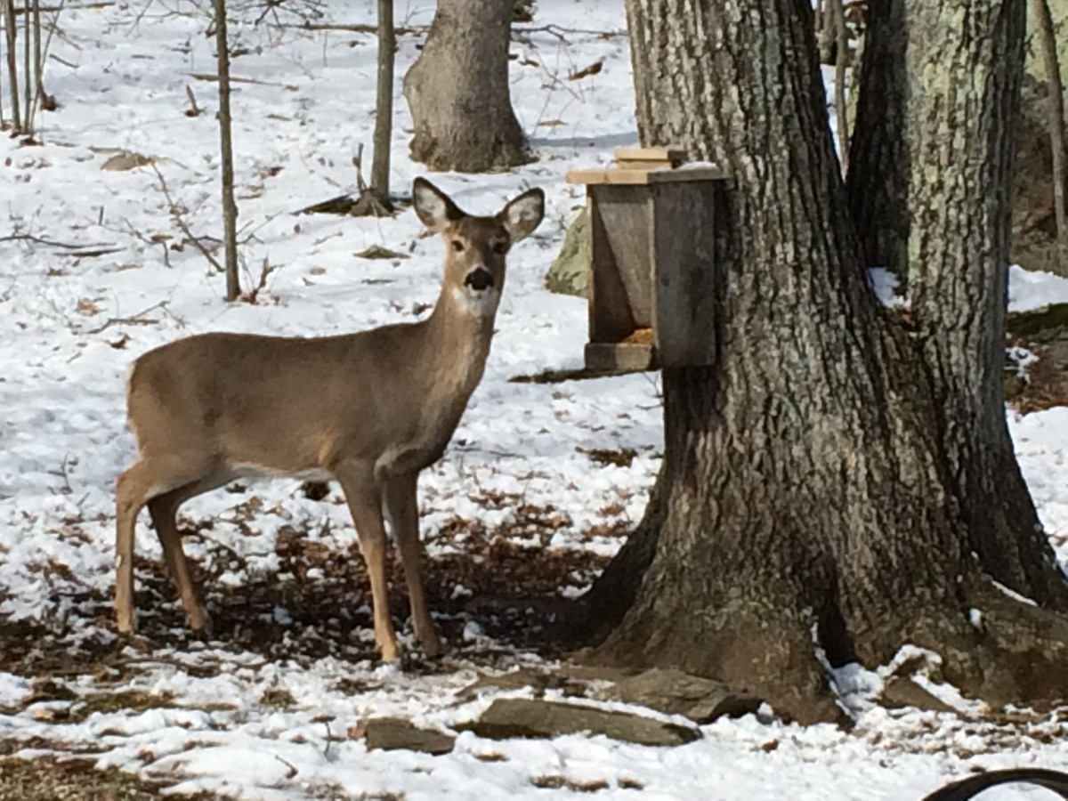 This doe is a frequent visitor to our deer feeder.