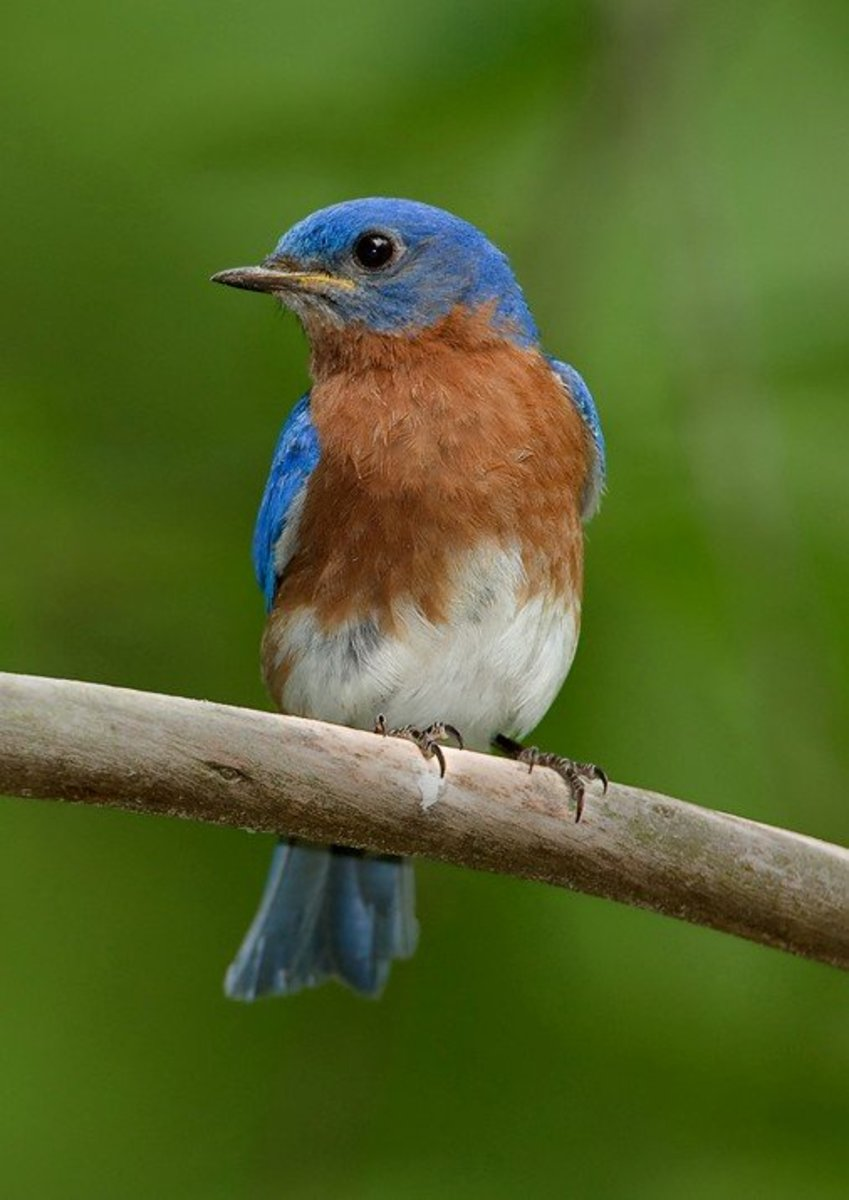 Eastern Bluebirds are welcome visitors to our yard
