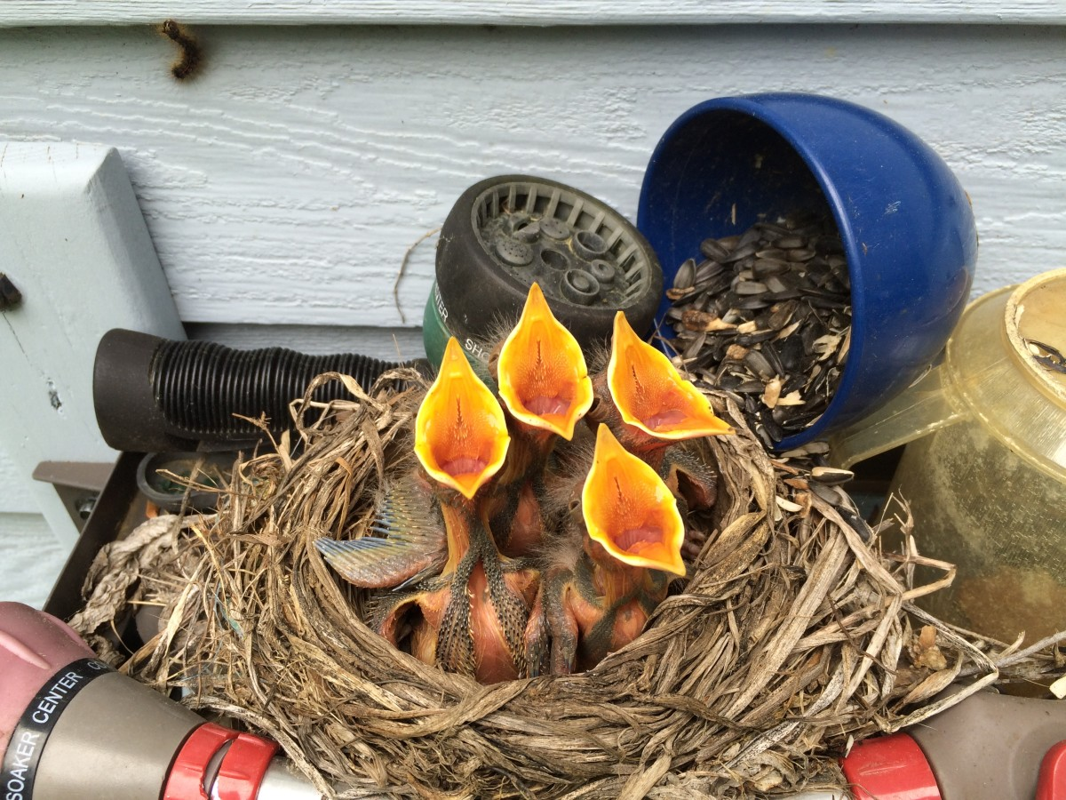 A mamma robin built her nest on top of the hose reel in our back yard