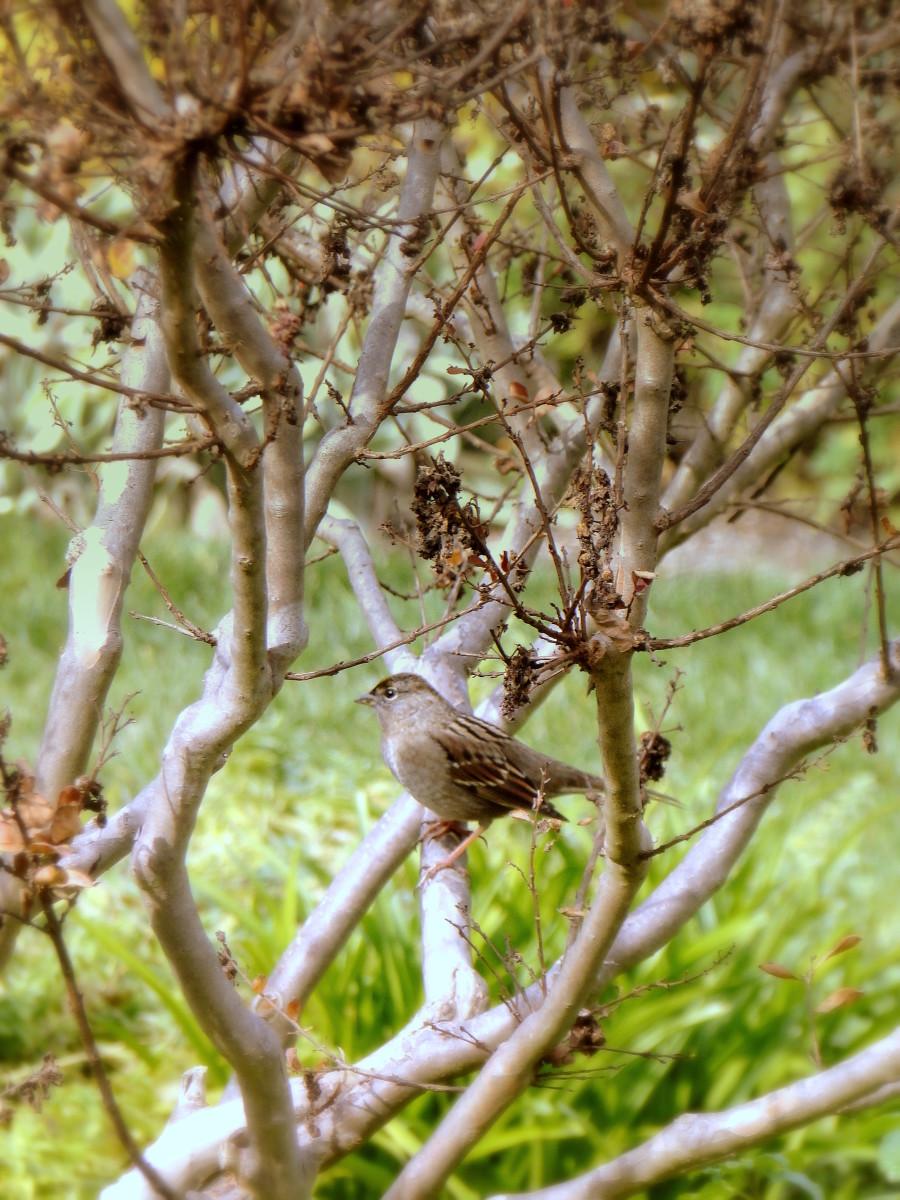 A plump female sparrow surveys her surroundings.