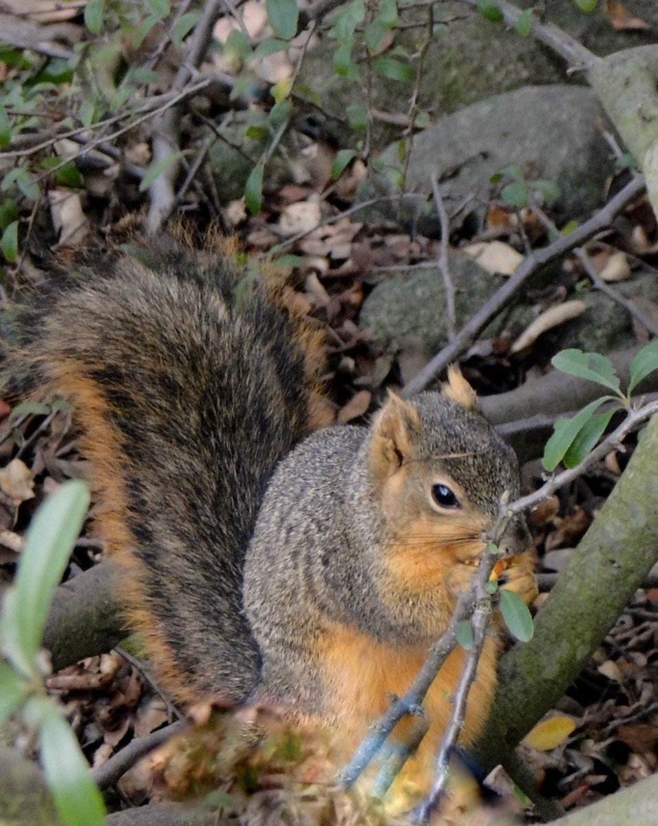 The rustling of dry leaves leads me to a foraging squirrel!