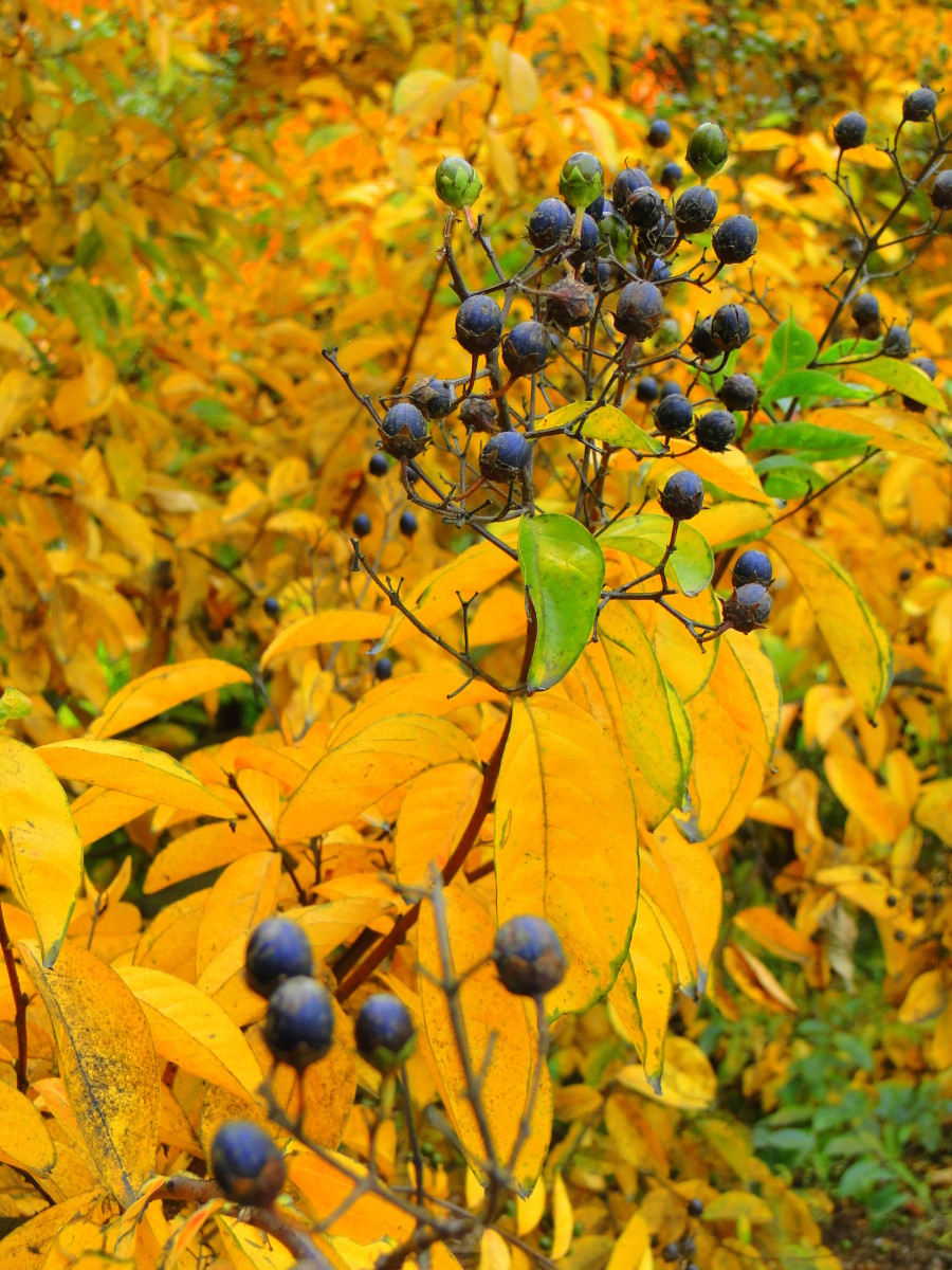 The spicebush berries are a colorful feast for the birds, mice, and squirrels.