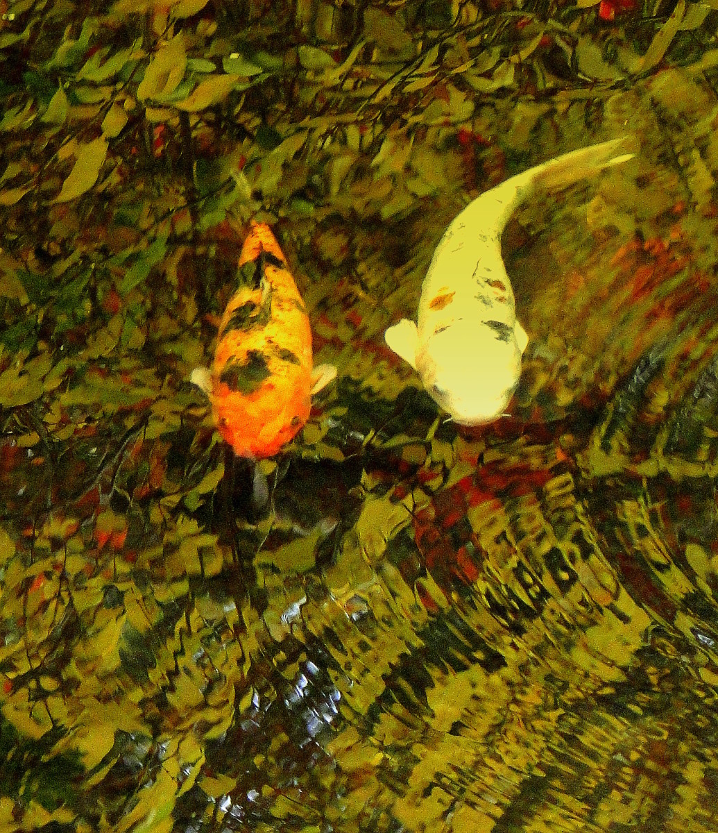 The ripples from swimming koi distort a pond's muddy bottom.