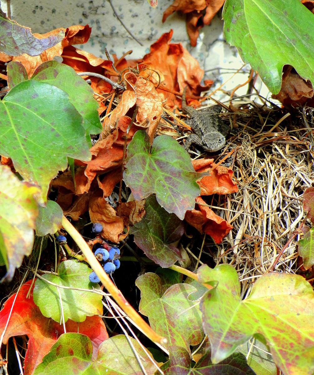 An alligator lizard has taken over an abandoned nest.