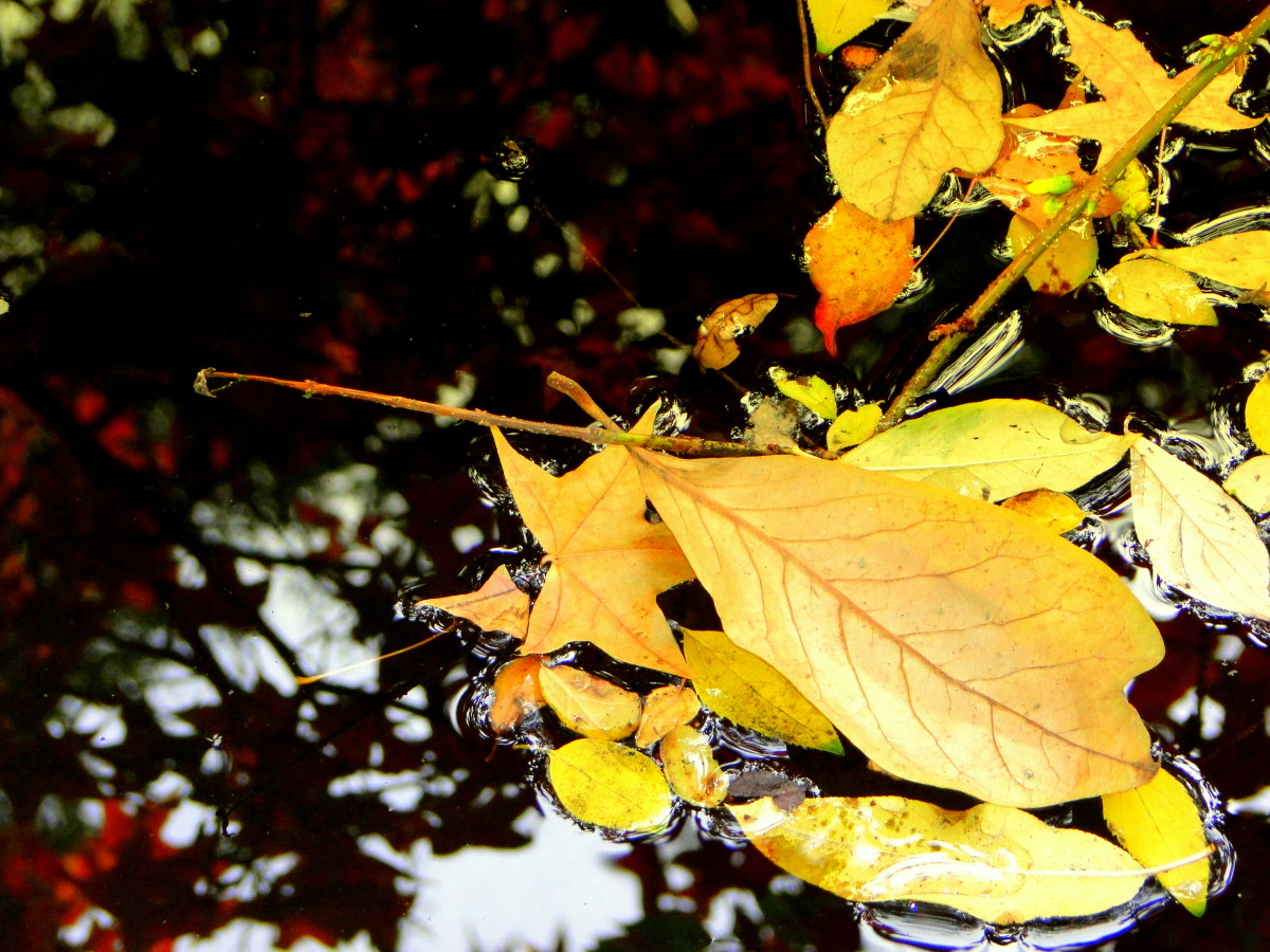 Fallen leaves contrast with the tree canopy's reflection in a woodland pond.