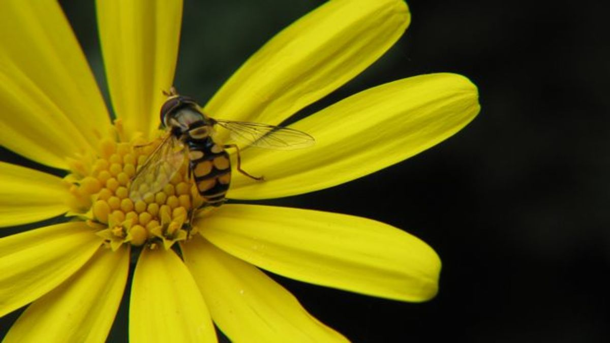 A hoverfly mimicking a wasp, on a daisy, Melbourne, Australia.