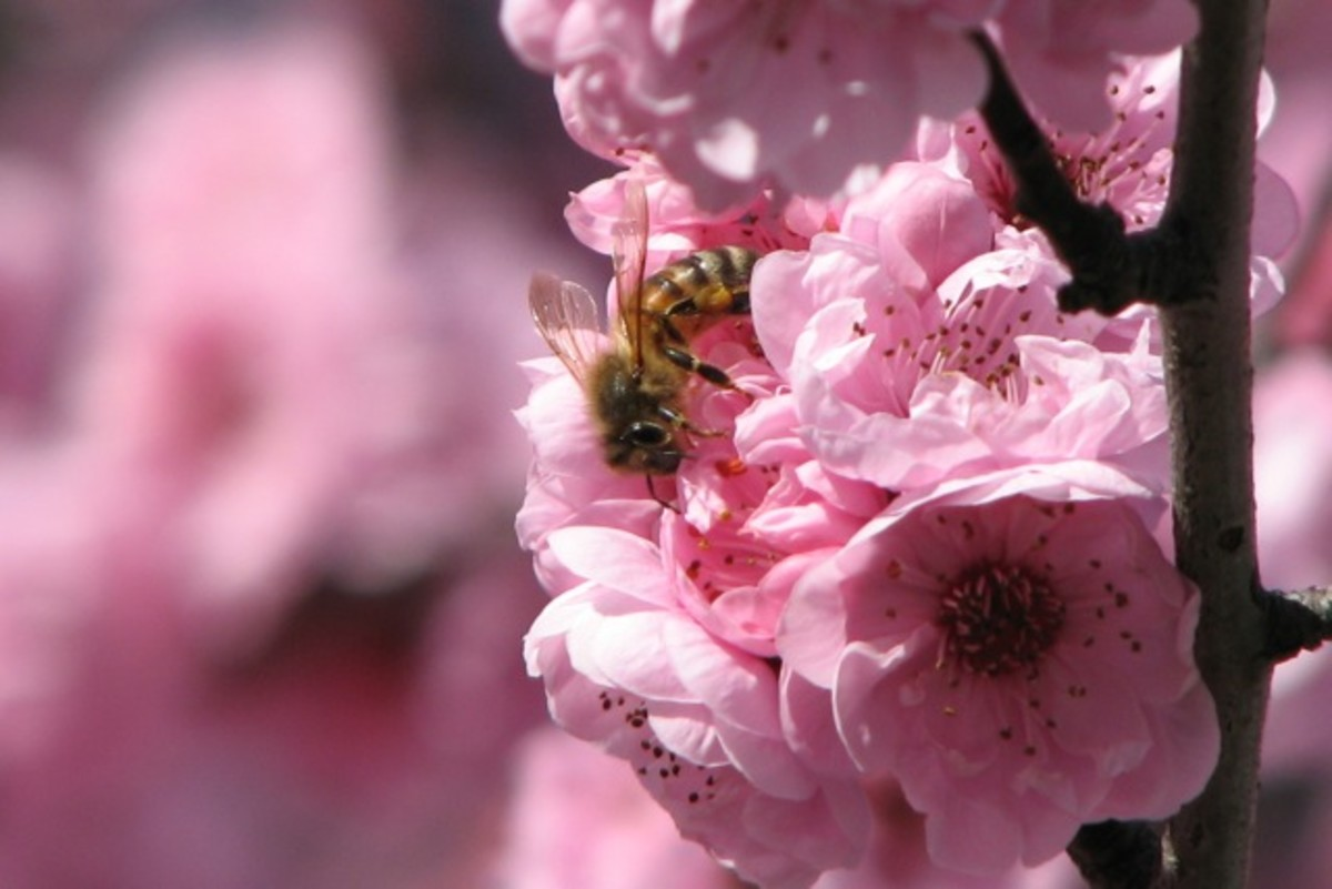 AV settings to blur the other blossoms and focus tightly on the bee. Canon Powershot S3 IS, AV mode plus zoom.
