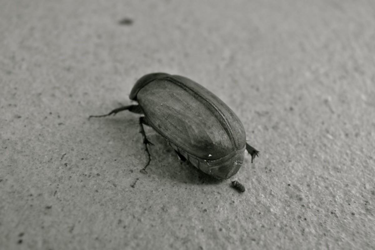 Beetle, Korumburra, Australia