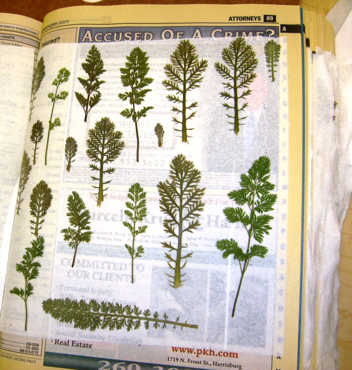 After 2-3 weeks, carefully remove tissue to reveal pressed leaves.  You can see these could be used to represent trees.