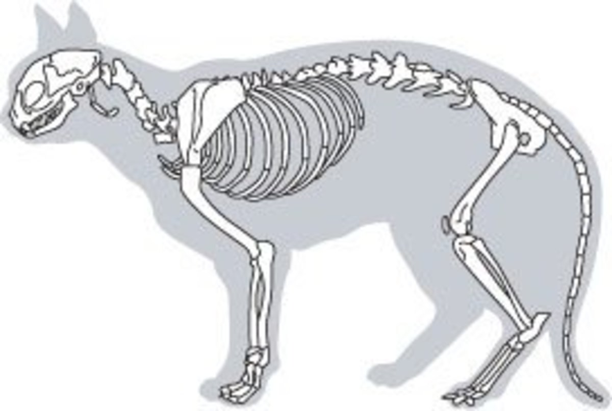 A cat skeleton. Note the curvature in the spine and the length of the tail.
