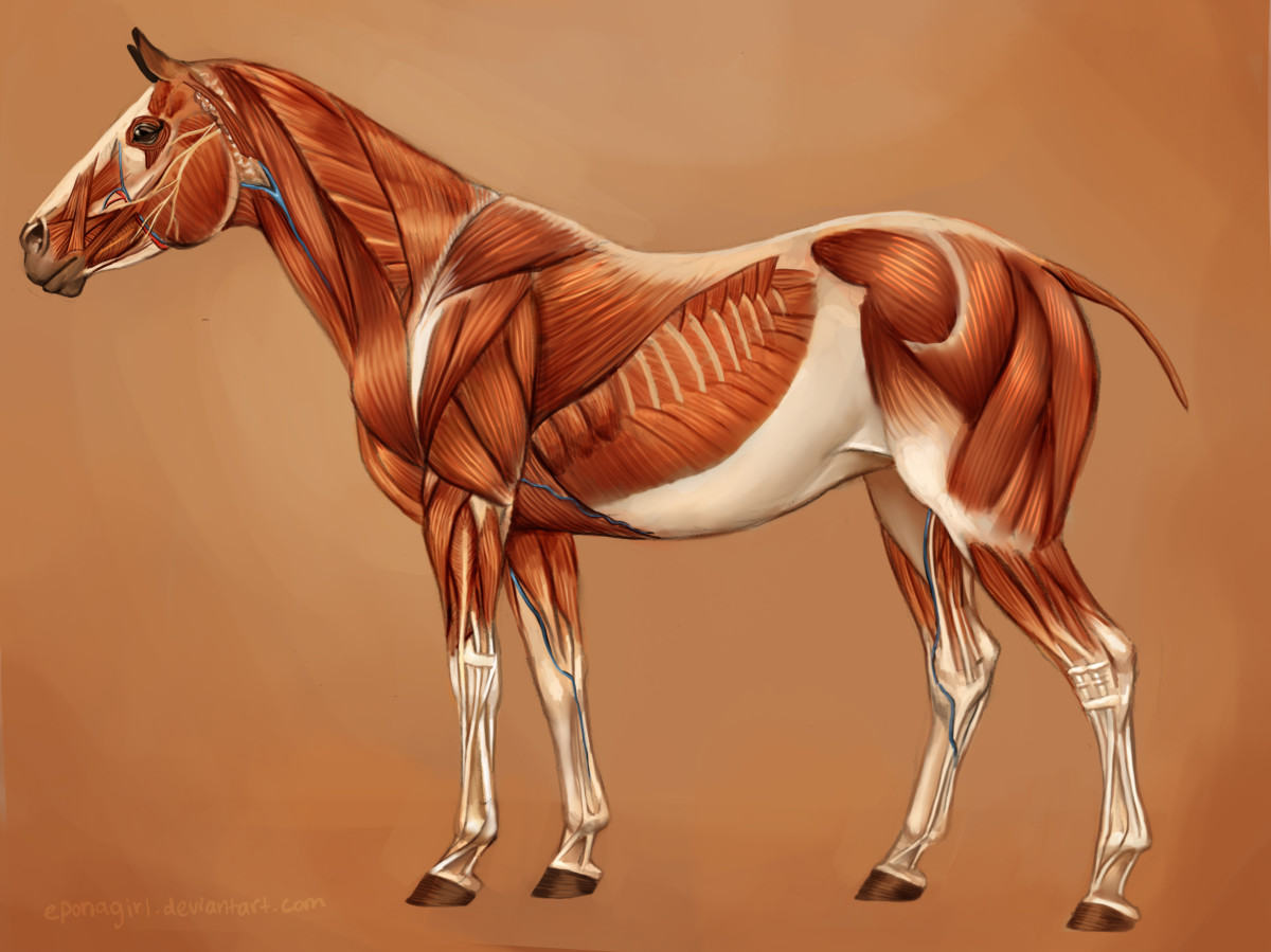 The musculature of a horse. Most notable are the ones in the neck, shoulder and forearm, and haunch.
