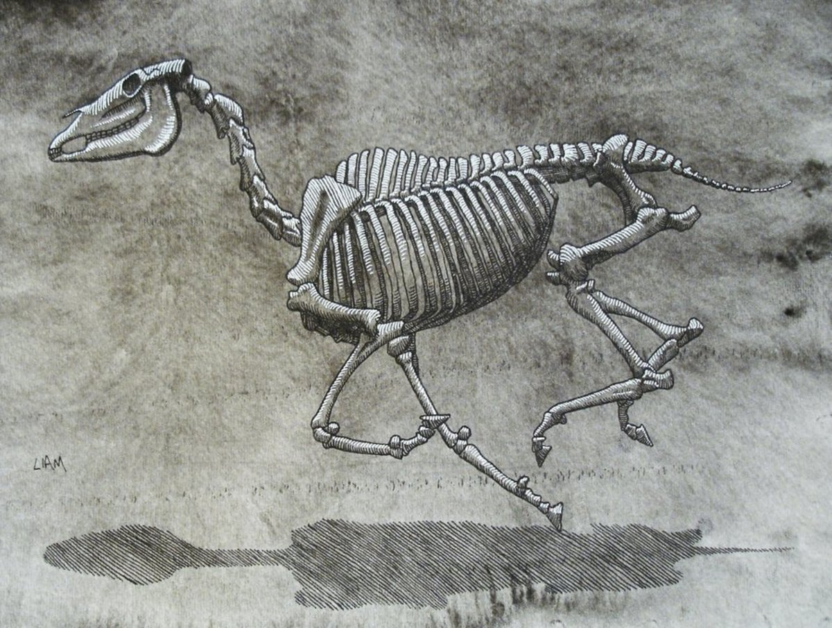 A horse skeleton in motion. Note the stiffness of the spine.